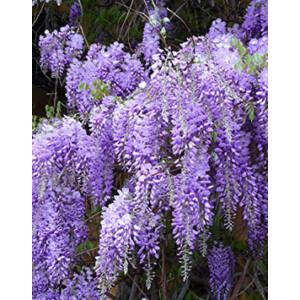 Wisteria floribunda 'Royal Purple' – Lilaakác