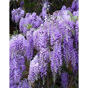Wisteria floribunda 'Royal Purple' – Lilaakác