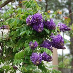 Wisteria frutescens 'Longwood Purple' - Különleges virágú lilaakác