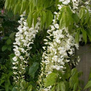 Wisteria 'Shiro-noda' – Fehér virágú lilaakác