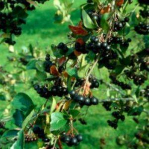 Aronia melanocarpa 'Amit' - Fekete berkenye