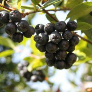 Aronia melanocarpa 'Hugin' - Fekete berkenye