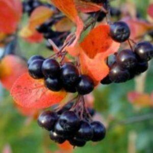 Aronia prunifolia 'Viking' - Fekete berkenye
