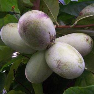 Asimina triloba 'Mango' – Indián banán