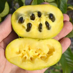 Asimina triloba 'Sunflower' – Indián banán