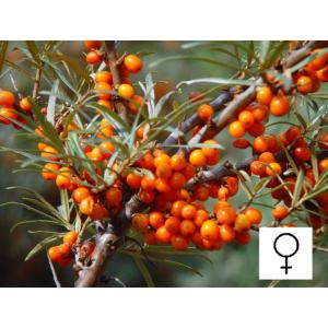 Hippophae rhamnoides 'Askola' - Homoktövis, termős