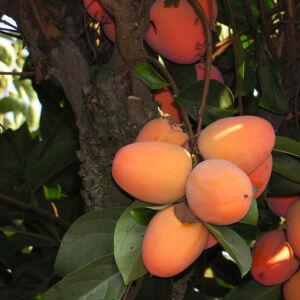 Diospyros kaki 'Chocolatino' – Datolyaszilva