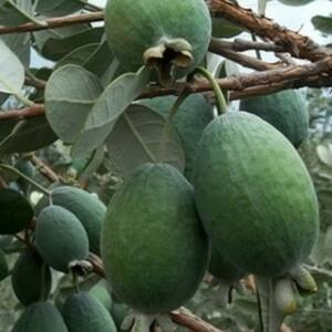 Feijoa sellowiana 'Mammuth' - Mirtuszdió