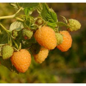 Rubus idaeus 'Fertődi aranyfürt' - Sárga málna