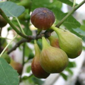 Ficus carica - Egytörzsű fügefa