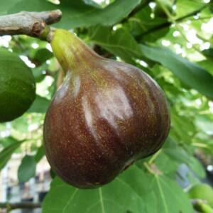Ficus carica 'Bornholmes Diamant' – Füge