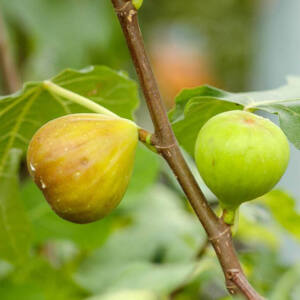 Ficus carica 'Brogiotto Bianco' – Füge