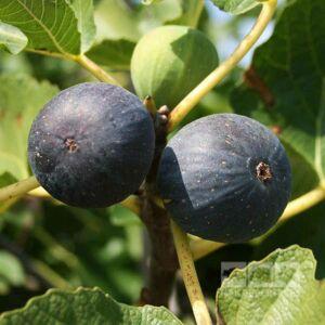 Ficus carica 'Brogiotto Nero' - Fekete füge