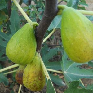Ficus carica 'Dalmatie' – Füge