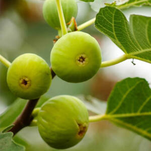 Ficus carica 'Dottato' – Füge