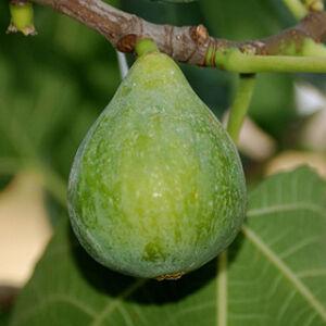 Ficus carica 'Fiorone' - Füge