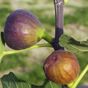 Ficus carica 'Grise de Tarascon' – Füge