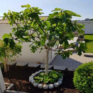 Ficus carica 'Györöki Lapos' - Füge (fává nevelhető)