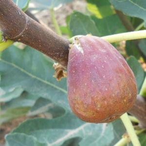 Ficus carica 'Helen' – Füge