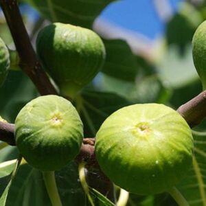 Ficus carica 'Kodata' – Füge