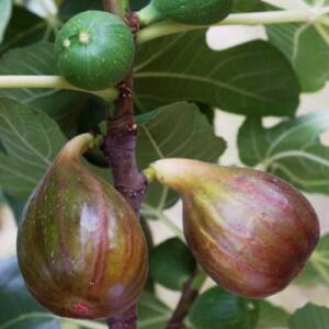 Ficus carica 'Madeleine des Deux Saisons' – Füge