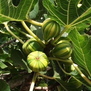 Ficus carica 'Panache' - Csíkos füge