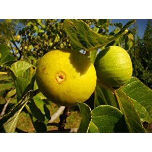 Ficus carica 'Pedro' - Füge