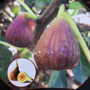 Ficus carica 'Siquora' – Füge