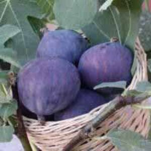 Ficus carica 'Smyrna' – Füge