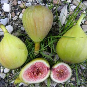 Ficus carica 'Verdino' – Füge