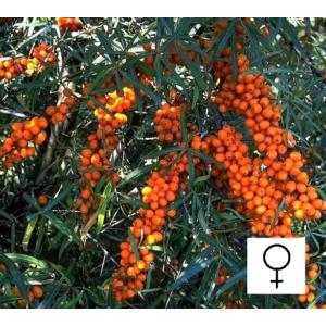 Hippophae rhamnoides 'Frugana' - Homoktövis, termős