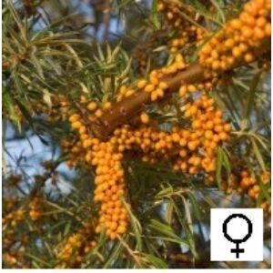 Hippophae rhamnoides 'Hergo' - Homoktövis, termős