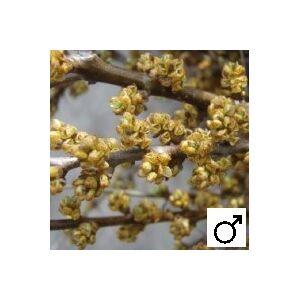 Hippophae rhamnoides 'Pollmix' - Homoktövis, porzós