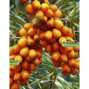 Hippophae rhamnoides 'Friesdorfer Orange' – Homoktövis, öntermékeny