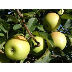 'Golden Reinders' alma – Extra méretű koros alma