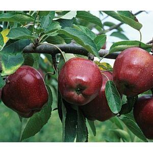 'Starking' alma - Extra méretű koros alma