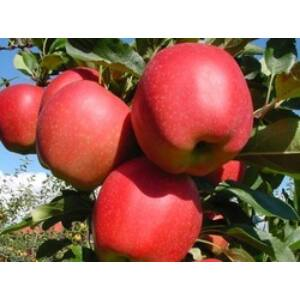 'Gala must' alma – Extra méretű koros alma