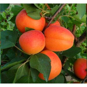 'Orangered' (Bhart) kajszi – Extra méretű koros kajszi