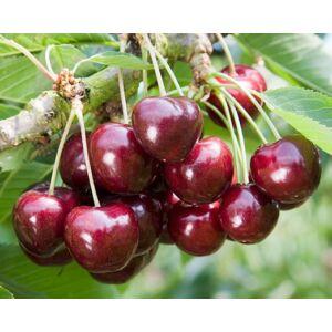 'Germersdorfi 3' cseresznye - Extra méretű koros cseresznye