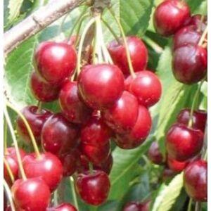 'Katalin' cseresznye