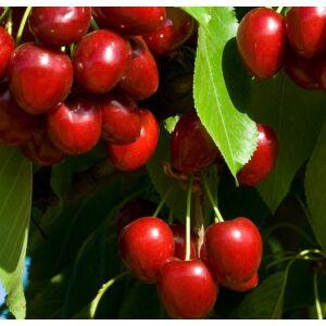 'Münchenbergi' cseresznye