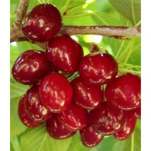 'Sunburst' cseresznye - Extra méretű koros cseresznye