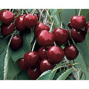 'Valerij Cskalov' cseresznye