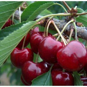'Carmen' cseresznye ('Germersdorfi 45') - Extra méretű koros cseresznye