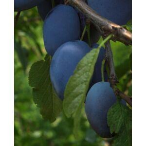 'Bluefre' szilva