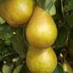 'Serres Olivér' körte