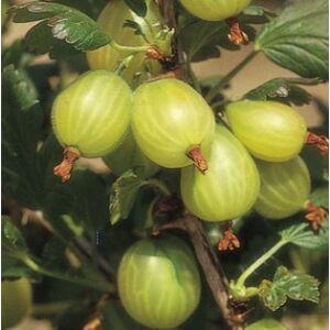 Ribes uva-crispa 'Zöld Győztes' – Egres fa