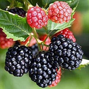 Rubus fruticosus 'Triple Crown' - Fekete szeder