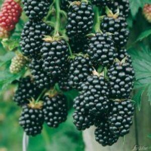 Rubus fruticosus 'Navaho' - Fekete szeder