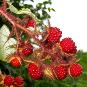 Rubus hybrid 'Japanese Wineberry' - Szedermálna